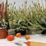 Inhalt des Artikels ist die Notwendigkeit von Frostschutz im Frühjahr.